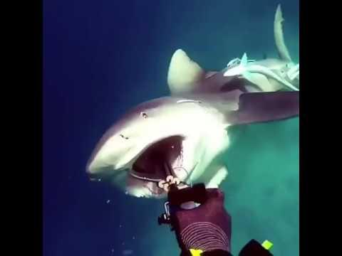 Shark attacks a diver in Qatar Arabian Gulf