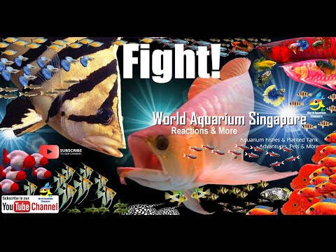 30cm Giant Tiger Fish VS 60cm Giant Red Arowana In Monster Fish Tank & Tiger Fish Dat Origin & Info