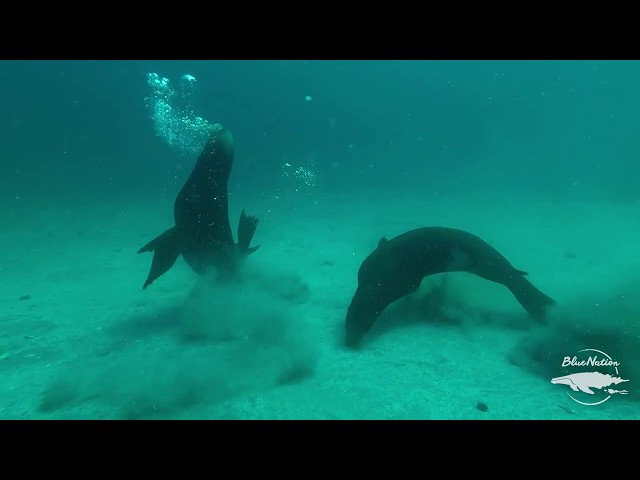 Sea lions of Loreto, Baja California Sur