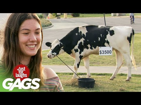 Girlfriends Risk Their Relationships To Buy A Cow