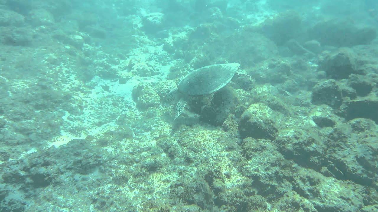 Na Mokulua Hawai: Green Sea Turtle Feeding & Swimming