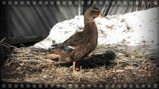Весенняя охота на селезня и подготовка подсадной утки к ней