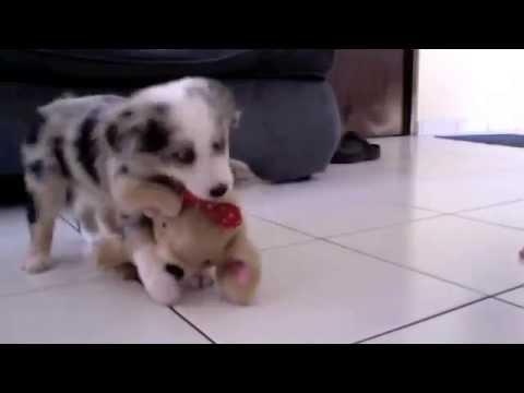 Mika (Australian Shepherd Blue Merle) vs Chihuahua