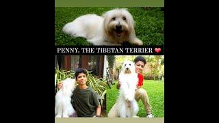 PENNY, THE TIBETAN TERRIER