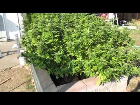 Marijuana Effects: Hindu Kush