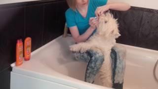 Собака Вестхайленд чистит зубы.