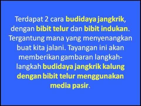 Ternak Jangkrik Kalung Dengan Bibit Telur Media Pasir 1