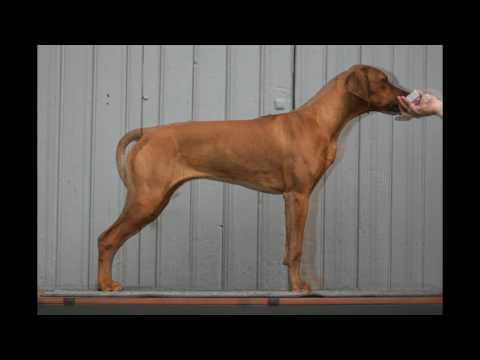 a Rhodesian Ridgeback growing I