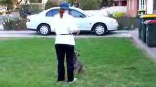 Border Terrier 'obedience'