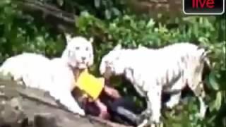 Mau ngasih makan harimau malah dimakan harimau