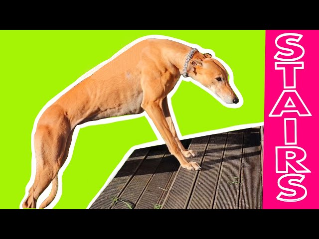 How to teach a retired Greyhound to master stairs
