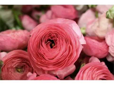 Ranunculus Brilliantly colored flowers