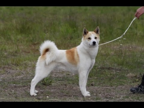 Norrbottenspets - Dog Breed