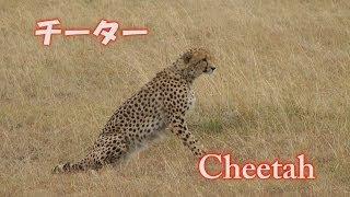 最速ランナー チーター Cheetah Africa Kenya Safari アフリカ ケニア サファリ