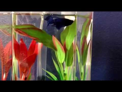 Percy's Fin Rot And API Betta Fix Walk Through