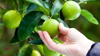 Mudas de Limão que dará Frutos com 180 dias