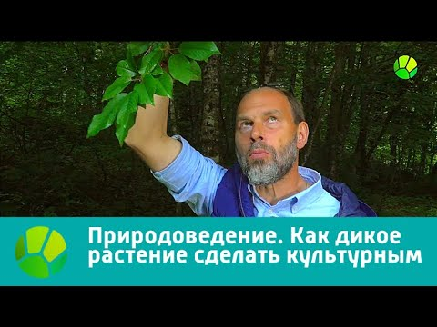 Вопрос: Как убрать дикое растение с огорода, если корни постоянно прорастают?