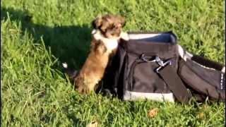 Shih Tzu Puppies - Www.greenfieldpuppies.com