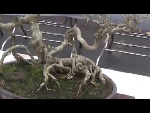 Trưng bày cây canh Hai Dương 2016 (Phần chính vtdeo 02 )