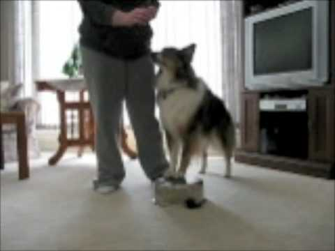 Teaching a Dog Hind End Awareness  Beginner
