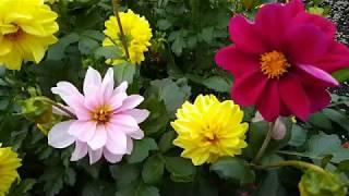 Цветы в моем саду ... и песня  для друзей.