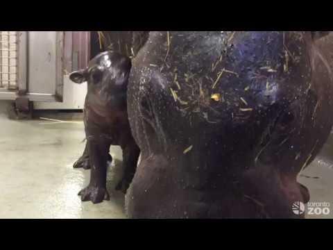Toronto Zoo Pygmy Hippo Calf With Mom