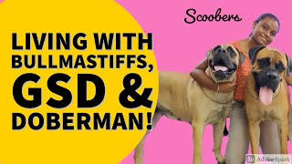 ALL ABOUT LIVING WITH BULLMASTIFF