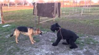Ризеншнауцер vs овчарка ))