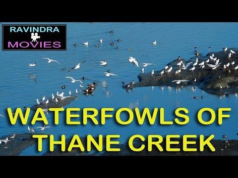Waterfowls Of Thane Creek,Aairoli, Navi Mumbai,Maharashtra,India