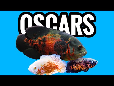 Oscar Cichlid Care - What You Need To Know