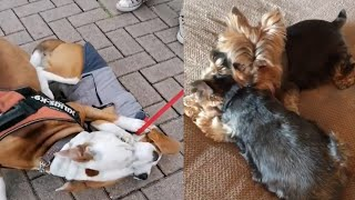 DOGS PLAY FIGHTING CUTE MOMENTS
