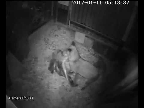"""""""FOX STORY"""" : Un renard déchiquette une oie + visites nocturnes de hérisson, fouine et chats"""