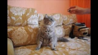 Дрессированный кот в Хабаровске