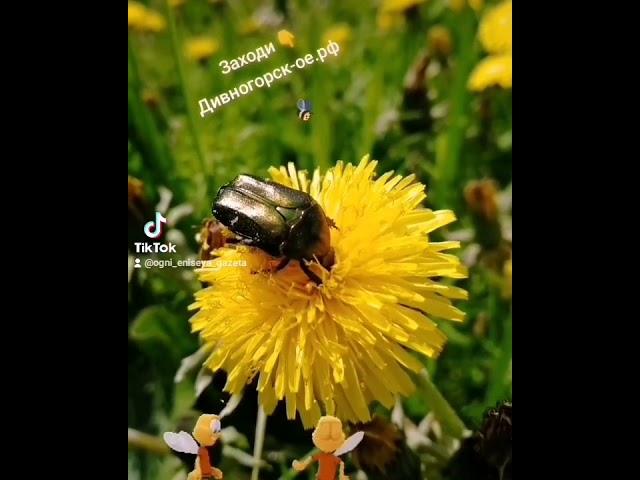 Майский жук ест мёд))