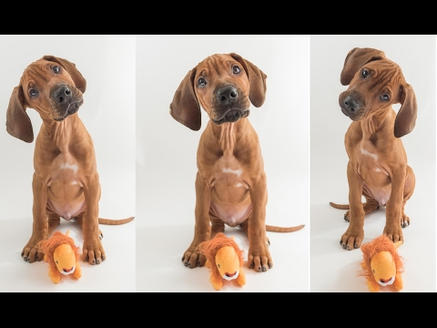 Rhodesian Ridgeback Puppy Training