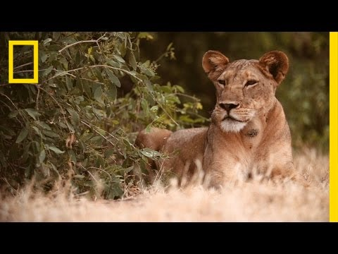 Biologist Helps Big Cats and People Coexist | Lion Protector