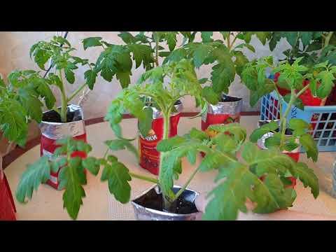 Вопрос: Как замедлить рост рассады помидор?