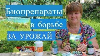 Огурцы. Спасаем урожай огурцов c помощью биопрепаратов. (15.06.16 г.)