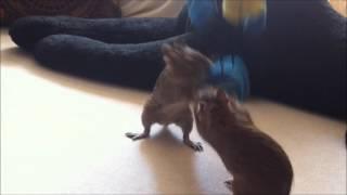 Дегу и мышь