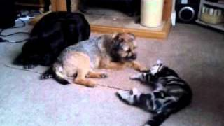 Border Terrier Playing With A Cat