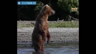 Медведи атакуют! 20.06.2016