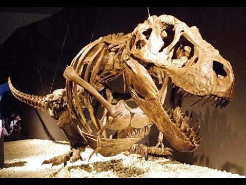 New T. Rex Found In Montana: What Will Fossils Tell Paleontologists About The Tyrannosaurus Rex
