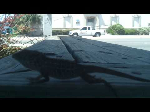 Jacksonville Beach Lizard King