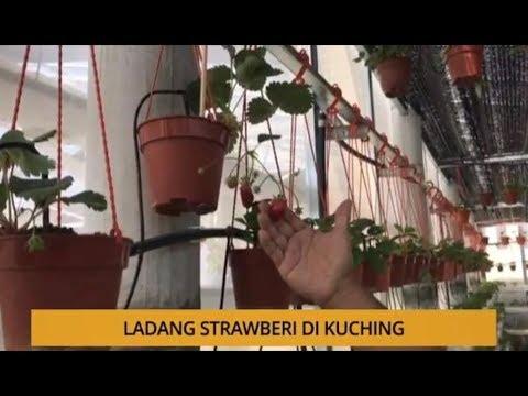 AWANI - Sarawak: Ladang strawberi di Kuching