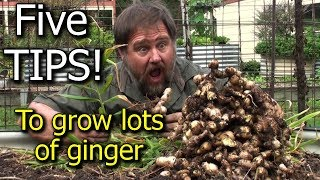 5 Tips How to Grow a Ton of Ginger in One Container or Garden Bed