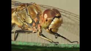 Стрекоза ест муху. Макро. AllVideo.
