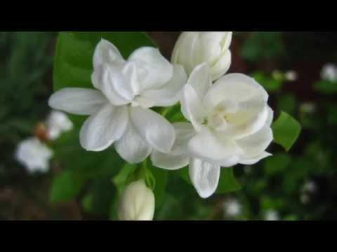 Mo li hua lyric video (pinyin and simplified chinese)