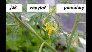 Jak zapylać pomidory w tunelu / szklarni 😉