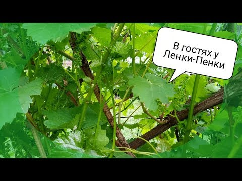 ☔ Виноград после зимы//🌟 Как перезимовал виноград?!// 🍇 Подвязка винограда// 🎬200-ое видео на кан
