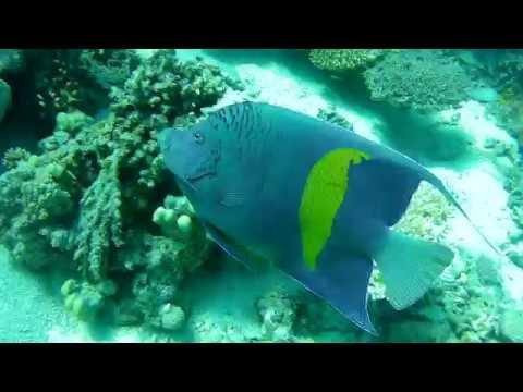 Ustniczek Cętkowany - Pomacanthus Maculosus - Halfmoon Angelfish,